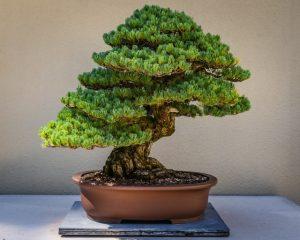 le bonsaï est une plante