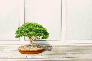 offrir un bonsai